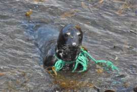 grey seal entangled with green netting